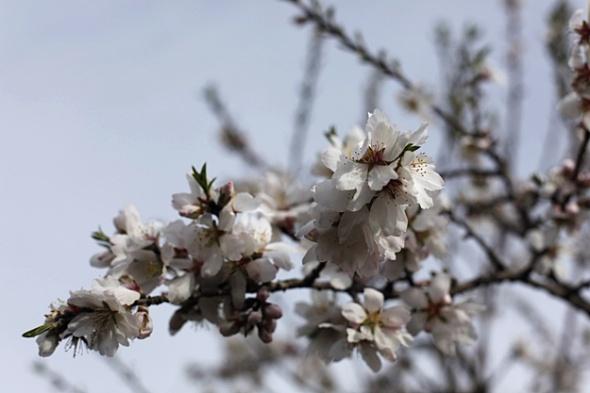 Mandelblüte im Olivenhain von Antonino in Zingarello (gestern)